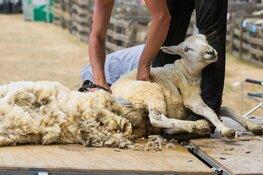 Kom kijken naar het schapen scheren bij het Koetshuijs in Heemskerk